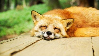 A sleeping fox